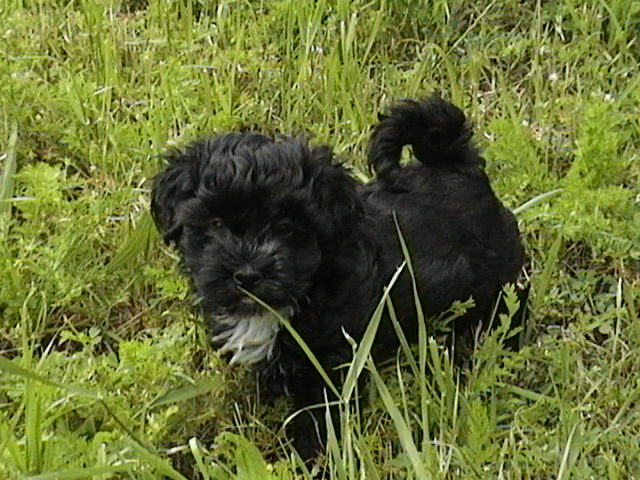 Few pictures of our past havanese puppies for you to see the variety