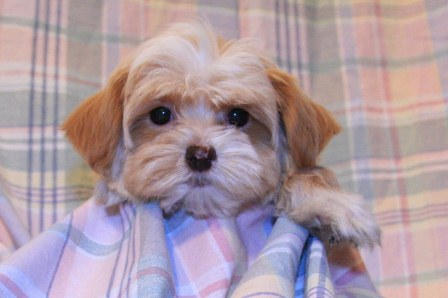 Havanese Puppies References Pictures Of Havanese Puppies