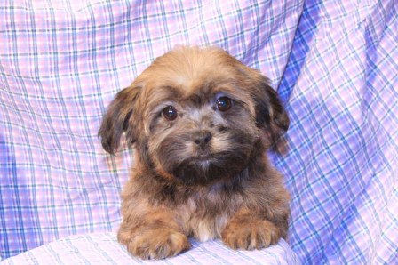 Havanese Puppies | References| Pictures of Havanese puppies